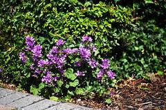 DSC_0409 (PeaTJay) Tags: nikond750 sigma reading lowerearley berkshire macro micro closeups gardens outdoors nature flora fauna plants flowers