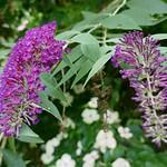 Au jardin, arbre aux papillons (Buddleja davidii), Bosdarros, Béarn, Pyrénées Atlantiques, Nouvelle-Aquitaine, France. thumbnail