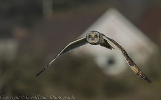 Short Eared Owl - (Asio flammeus) 'L' for large