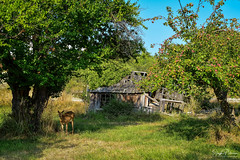 (Old Orchard) Coupeville, Whidbey Island (SonjaPetersonPh♡tography) Tags: washington washingtonstate whidbeyisland nikon nikond5300 oldorchard deer orchard coupeville historiccoupeville trees nature outdoors fruittrees oldbuildings historicbuildings