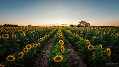 Les soleils se couchent (- Olivier B. - Entre terres et ciel -) Tags: coucher soleil tournesol champ semence rangs lignes canon 5dmkii fisheye 815 olivierb entreterresetciel sunset