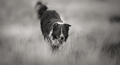 Boing'ing (JJFET) Tags: border collie dog dogs sheepdog herding