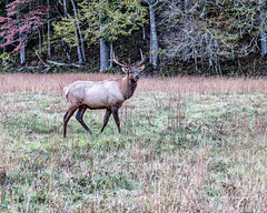 Elk 33 (augphoto) Tags: augphotoimagery cervuselaphus elk animal mammal nature outdoors wildlife waynesville northcarolina unitedstates