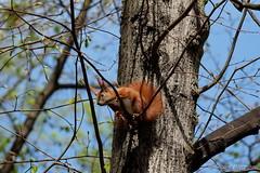Bereit zum Sprung ins Wochenende (Sockenhummel) Tags: eichhörnchen volksparkwilmersdorf squirrel baum baumstamm tier fridolin park fuji xt10 eichkater redsquirrel