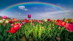 Rainbow - 5382 (ΨᗩSᗰIᘉᗴ HᗴᘉS +23 000 000 thx) Tags: rainbow flower tulipe flora sky nature hensyasmine namur belgium europa aaa namuroise look photo friends be wow yasminehens interest intersting eu fr greatphotographers lanamuroise tellmeastory flickering