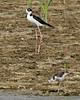 Black-necked Stilt (Himantopus mexicanus) (Mary Keim) Tags: taxonomy:binomial=himantopusmexicanus centralflorida marykeim orlandowetlandspark