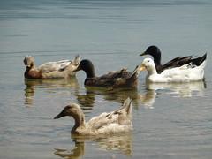 P1050645 (amalia_mar) Tags: 7dwf fauna animals birds ducks lake trihonida etoloakarnania dafnias greece water