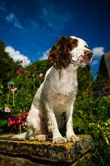 Rupert enjoying the limelight ! (TrevKerr) Tags: dog dogportrait gundog spaniel springer springerspaniel englishspringerspaniel nikon d3s nikon24mmf28d nikonsb900