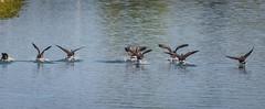 The Hatfields and McCoys (ausmc_1) Tags: 2018 birds july canada waterfront britishcolumbia vancouverisland canadageesebrantacanadensis somassriver portalberni nikkor2oo500f56vr water d800 outdoor wildlife