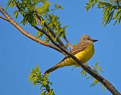 Couch's kingbird (justkim1106) Tags: kingbird couchskingbird flycatcher birdtexasbird yellow bokeh naturebokeh backyardbird texaswildlife