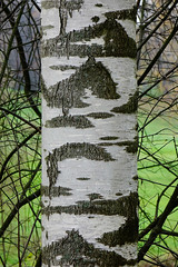 Poplar tree bark (phuong.sg@gmail.com) Tags: abstract aspen background balsamifera bark brown closeup design detail environment forest grain gray landscape mammal natural nature oak old outdoors pattern plant poplar populus predator rough scenery scratch scratched surface texture textured track trail travel tree white wild wilderness wildlife wood wooden