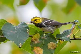 Paruline à gorge noire - Black-throated Warbler