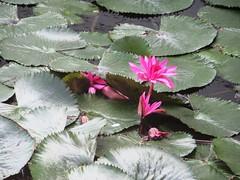 (Ferencdiak) Tags: thermal bath hungary tó gyógytó termál fürdő liliom waterlily tavirózsa
