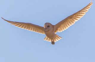 barn owl at Brushy Peak