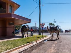 Camels at Australian Hotel Burke St Boulia Queensland P1030419ai (john.robert_mcpherson) Tags: camels australian hotel burke st boulia queensland