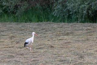 Cicogne blanche (Ciconia ciconia)