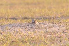 Female Burrowing Owl in her burrow
