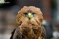 Bateleur Eagle 1 (Mike House Photography) Tags: bataleur eagle snake africa zimbabwe bird prey conservation animal photography wildlife wild captivity feathers beak eyes tightrope walker wing tail flying flight fly mane crown brown yellow white amber red