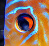 Irridescent Tropical Fish. (Mary Faith.) Tags: fish coloured exotic bright colour irrecescent tropical light nature macro sea water leisure fun aquarium captive children play hobby collection scuba diving pleasure tourism sightseeing colorphotoaward fiatlux