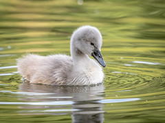 Mute swan cygnet (Happy snappy nature) Tags: cygnet muteswan cute fluffy beautiful avian bird nature wild wildlife outdoors shropshire nikon200500 nikond500