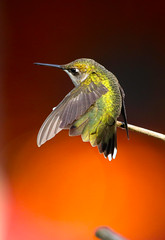 Ruby-throated Hummingbird (wvsawwhet) Tags: rubythroatedhummingbird bird birding birds birdwatching birdsofwestvirginia westvirginia wv westvirginiabirds marioncounty fairmont