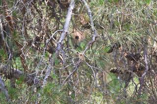 Черноголовый щегол, обыкновенный щегол / European goldfinch