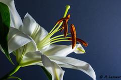 Si la rose est la reine des fleurs, le Lys en est le roi ! (Shoot Enraw) Tags: pétale fleur macrophotographie lys nature 10500mmf28 pureté sigma pollen royauté innocence flash
