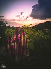Last Summerbeams (Ukelens) Tags: ukelens bern schweiz swiss switzerland suisse svizzera unterzollikofen iphone7 lightroom light lights lighteffects licht lichter lighteffect lichteffekt lichteffekte lightshow shadow sh sun sunbeam sunstream sunset summer sunlight sonne sonnenschein sonnenstrahl sonnenuntergang sonnenstrahlen sonnenlicht blume flower lightroommobile