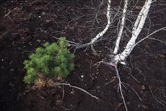 20180817. Velise bog. 0671 (Tiina Gill (busy)) Tags: estonia raplamaa velise bog nature summer outdoor peat birch tree