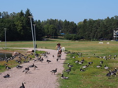 2018 Bike 180: Day 163, July 30 (olmofin) Tags: 2018bike180 finland espoo bicycle cyclist geese goose hanhi hanhia polkupyörä pyöräilijä mzuiko 45mm f18