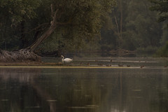 Life on the lake (darren.h88) Tags: lake wildlife birds swan ducks nature reflection canon canon7d