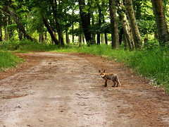 fox on a road (Darek Drapala) Tags: fox road forest nature animal lumix light panasonic poland polska panasonicg5 baltic