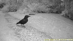 TrailCam 20/6/18 (ohange2008) Tags: essexgarden trailcam birds crow jay woodpigeons june