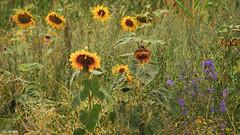 01082018-DSC_0007 (vidjanma) Tags: champ fleurs tournesols lin ardenne
