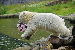 Nanook & die Fußball WM (Michael Döring) Tags: gelsenkirchen bismarck zoomerlebniswelt zoo eisbär polarbear nanook afs70200 d800 michaeldöring inexplore