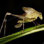 Cryptic juvenile katydid thumbnail