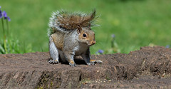 Grey Squirrel. (pitkin9) Tags: animal greysquirrel sciuruscarolinensis nature wildlife woodlands