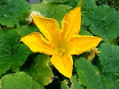 Zucchini Flower (knightbefore_99) Tags: zucchini flower yellow flor fleur edible tasty veggie plant garden bc vancouver eastvan grow food awesome pretty blossom