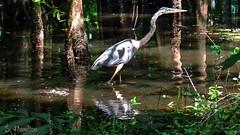 Cypress Swamp - Just Passing Through (Suzanham) Tags: greatblueheron swamp heron bird wadingbird nature mississippi noxubeewildliferefuge water cypressswamp trees reflections vegetation