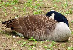 Kanadagans (anubishubi) Tags: vogel bird wasservogel geflügel gans goose kanadagans lumixfz150