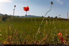 Poppies (Ludtz) Tags: ludtz canon canoneos5dmkiii 5dmkiii vercors plateauduvercors lachapelleenvercors poppies coquelicot fleurs fleur flowers flower sunset coucherdesoleil cloudsstormssunsetssunrises red rouge summer eté montagnes mountain montagne mountains alpes alps ef24|28is