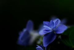 flower 1585 (kaifudo) Tags: sapporo hokkaido japan maruyamapark flower hydrangea danceparty 札幌 札幌市 北海道 円山公園 アジサイ 紫陽花 ダンスパーティー nikon d810 macro105mmf28 sigma 105mm