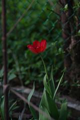 Tulip (pqsyerg) Tags: pentaxk1 tokinaatxmacro bokina 90mm snowdrop beyondbokeh