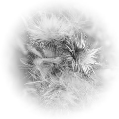 Thistle . (wayman2011) Tags: canon50dlightroom5 colinhart wayman2011 bw mono rural flora hedgerows countryside pennines dales teesdale stainton countydurham uk