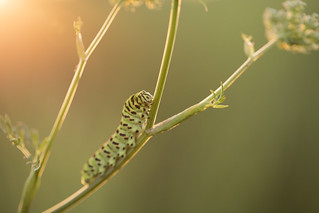 Common Swallowtail Caterpillar