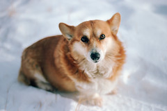 wyoming winter, part two (manyfires) Tags: wyoming rural farm ranch roadtrip winter snow cold nikonf100 35mm analog film animal animalscape portrait dog canine corgi fuzzy furry