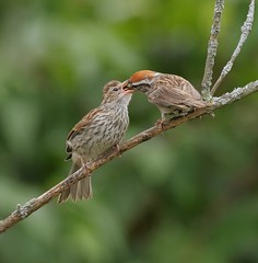 All For You (Slow Turning) Tags: spizellapasserina chippingsparrows birds two adult parent fledgeling baby feeding food perched branch shrub summer southernontario canada