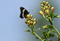Popular Hangout (Diane Marshman) Tags: butterfly black white red blue wings antennae fly flies bugs insects yellow trumpet vine flower bud buds leaves outdoors summer sky northeast pa pennsylvania nature