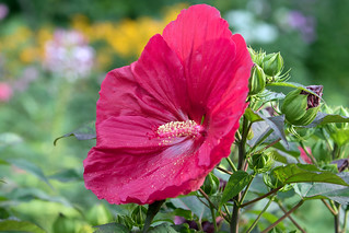 015A0062 Hibiscus