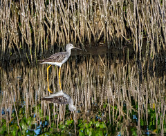 Yellowlegs (Ed Rosack) Tags: pond wetland nature reflection reed ©edrosack greateryellowlegs 34sandpipersphalaropesandallies water bird grye marsh tringamelanoleuca swamp titusville florida unitedstates us